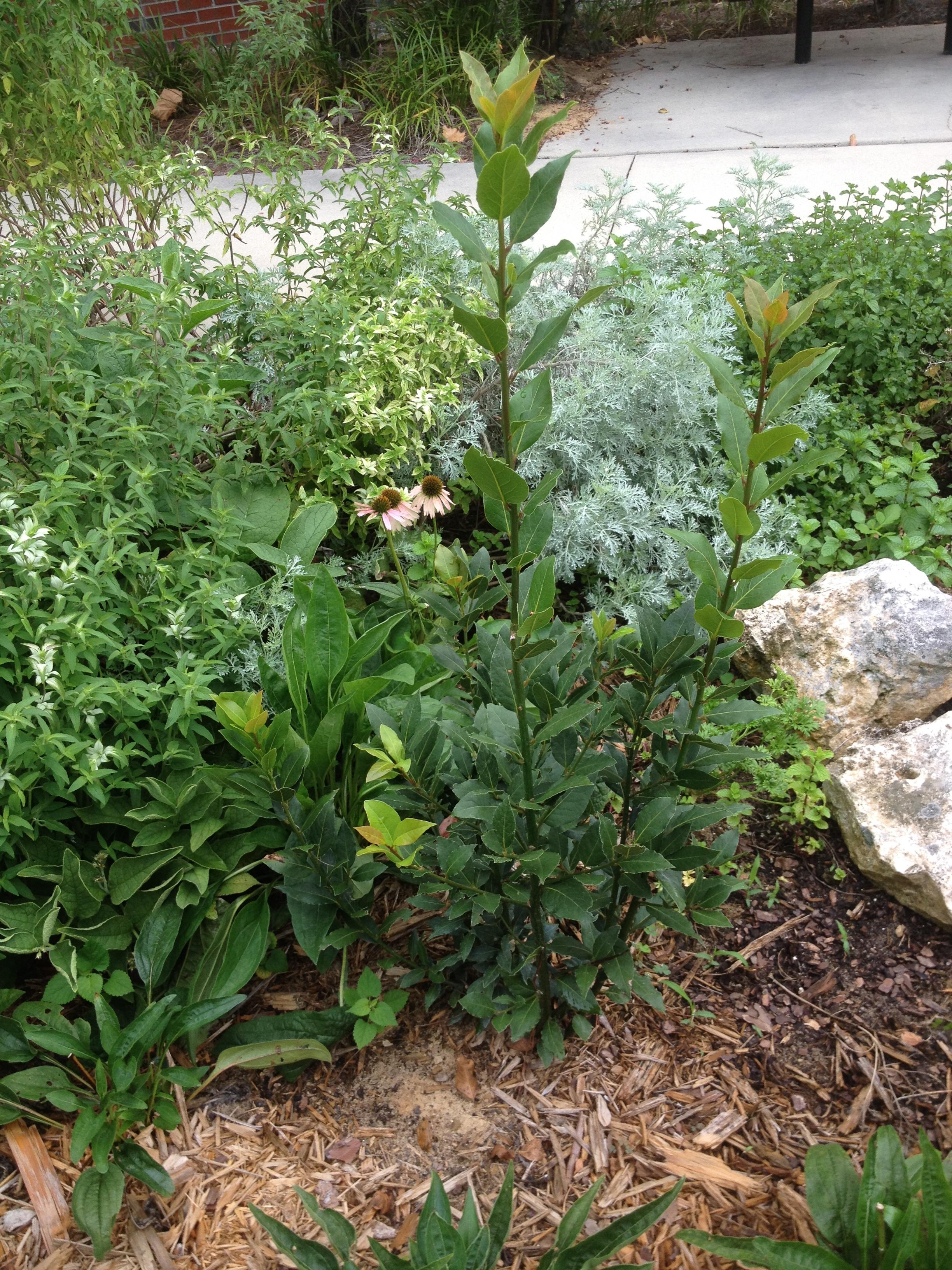 Medicinal Herb Garden | Florida State University