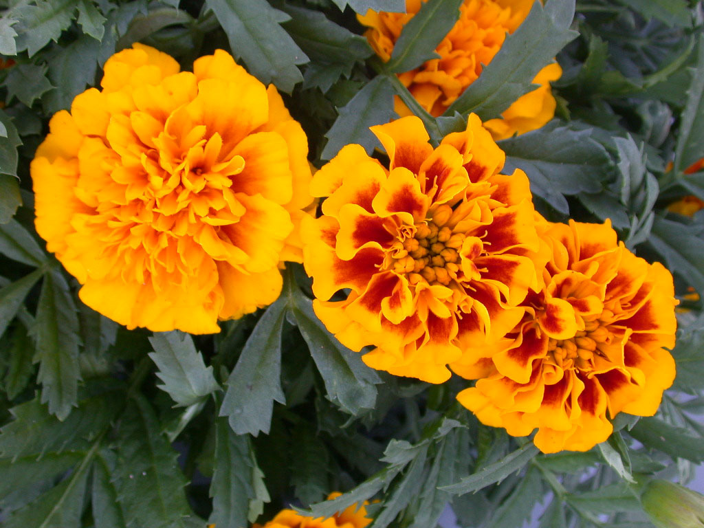 Medicinal Herb Garden | Florida State University Marigold Plant With Roots